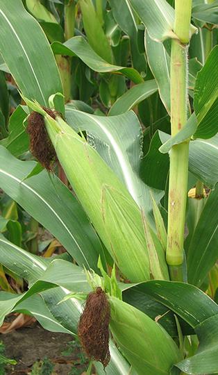 silage-corn