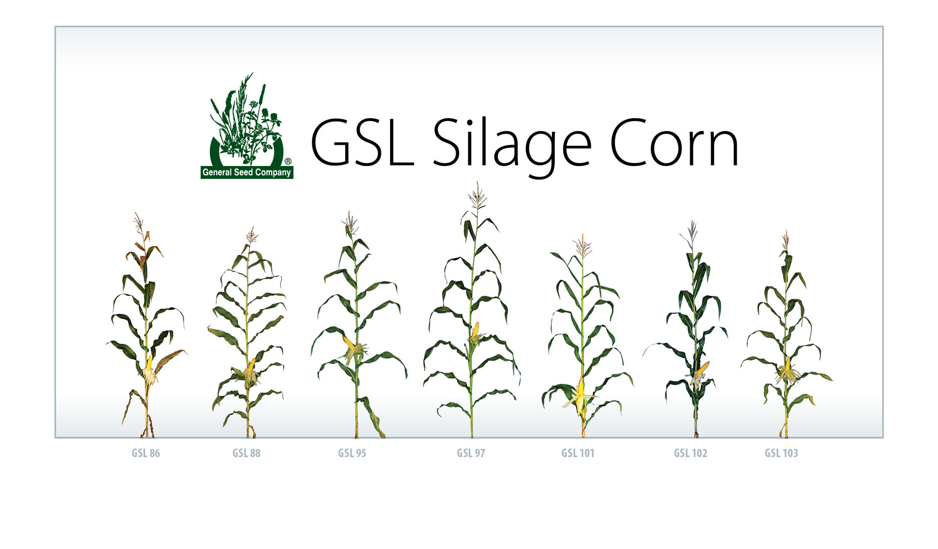 GSL Silage Corn general seed company